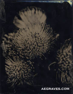 tintype (ferrotype) of pincushion protea by A.E. Graves