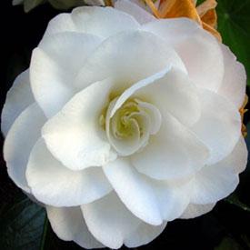 white Japonica camellia