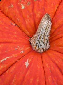 close up of the cut stem of a bright orange pumpkin