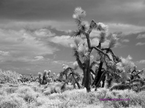 infrared photograph of Joshua Tree at Ripley Desert Woodlands State Park
