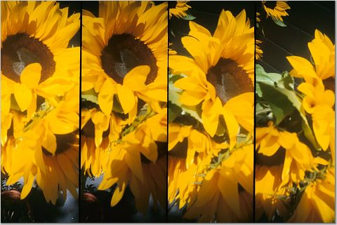 four images of yellow sunflowers