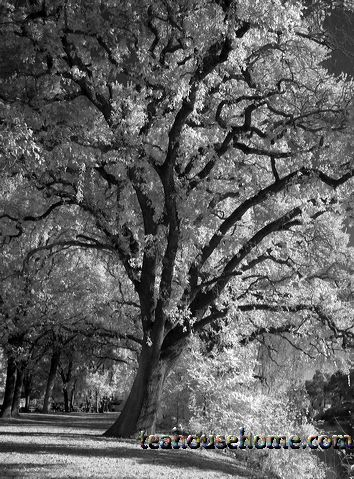 infrared photograph of trees along the Tuolomne River in Modesto by A.E. Graves